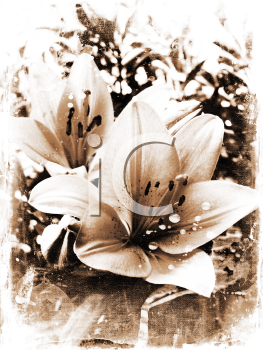 Grunge background of lily flowers