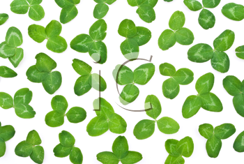 Royalty Free Photo of Clover Leafs