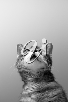 a cat on grey background