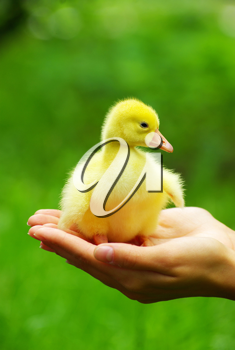 a yellow fluffy gosling in the hand