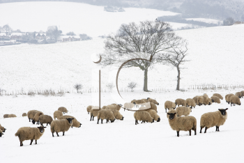 Royalty Free Photo of Sheep in Snow