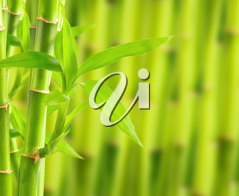Royalty Free Photo of a Bamboo Plant