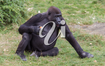 Adult gorilla eating a piece of fruit