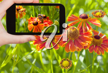 travel concept - tourist taking photo of honey bee collecting nectar from gaillardia flower close up in summer on mobile gadget